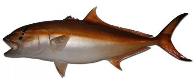 Amberjack Fish Replica 49