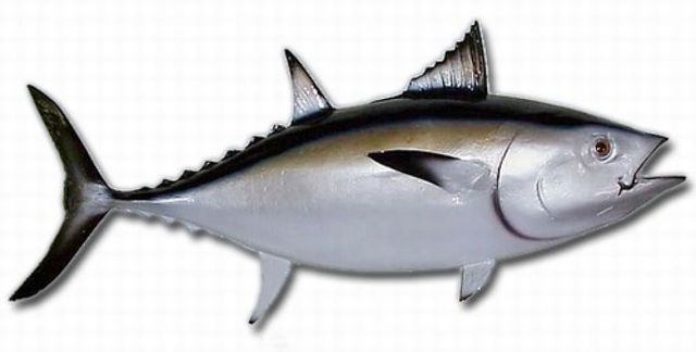 Blackfin Tuna Fish Replica 35