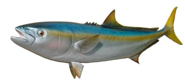 California Yellowtail Fish Replica 39