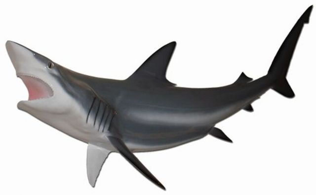 Grey Black-Tip Shark Replica 50