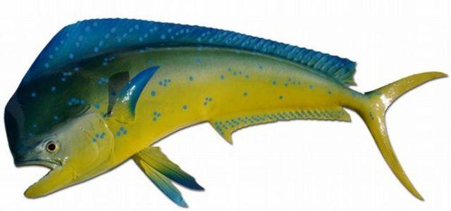 Mahi Fish Replica 40