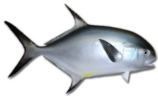 Permit Fish Replica 32