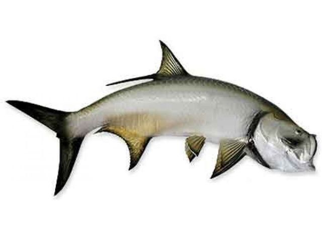 Tarpon Fish Replica 42
