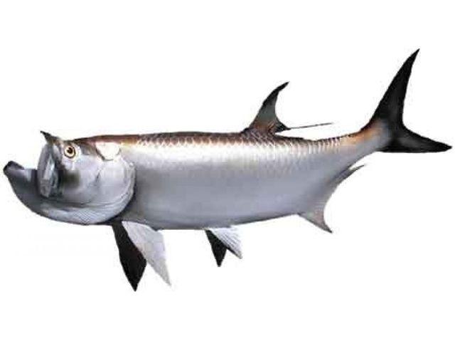 Tarpon Fish Replica 57