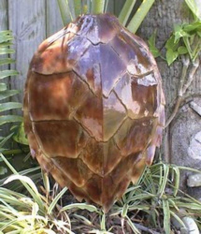 Attractive Buy Hawksbill Turtle Shell Replica 16 Inch - Beach Decor For Home  QX74