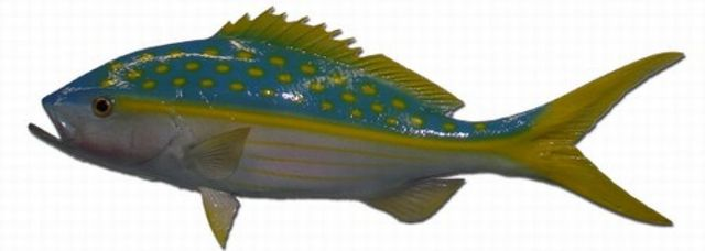 Yellowtail Snapper Fish Replica 27