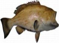 Gag Grouper Fish Replica 42