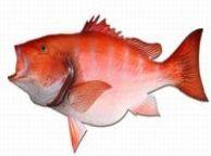 Red Snapper Fish Replica 39