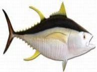 Yellowfin Tuna Fish Replica 55