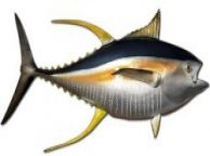 Yellowfin Tuna Fish Replica 72