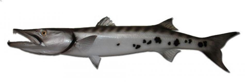 Buy barracuda fish replica 49 inch beach room decor for Barracuda fish for sale