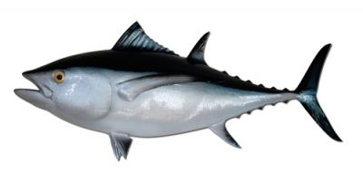 Albacore Tuna Fish Replica 38