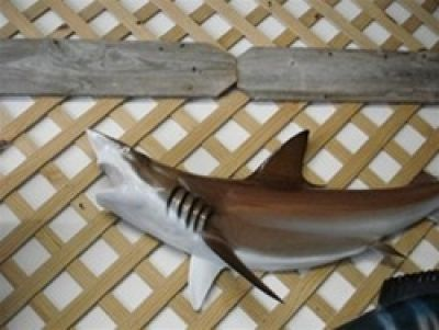 Brown Black-Tip Shark Replica 50