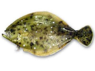 Flounder Fish Replica 35