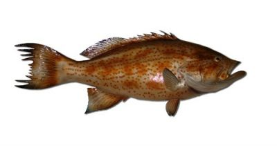 Scamp Grouper Fish Replica 32