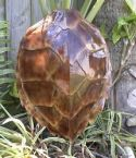 Hawksbill Turtle Shell Replica 16